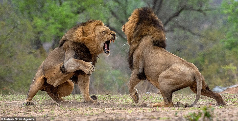 Lion Fight Whatsapp Status Video Download – Sapakhru Song Status